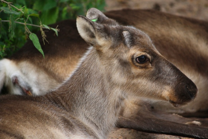 reindeer-finland-animal-nature-73767